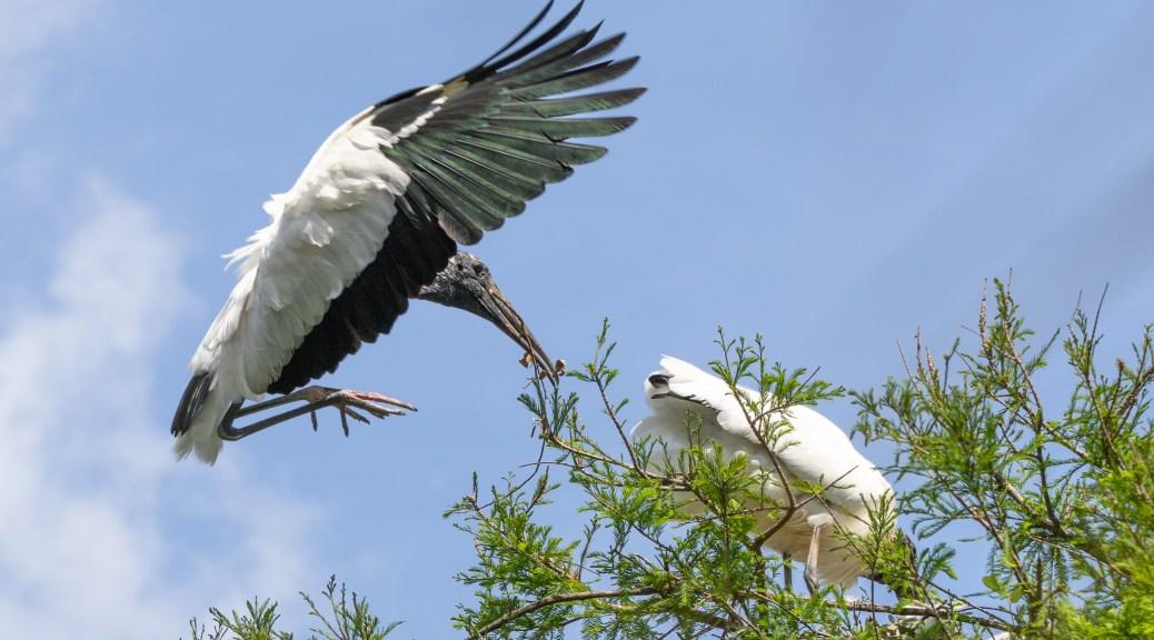 Acrobatics Of A Wood Stork