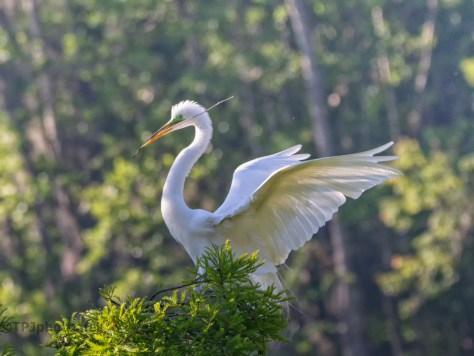 Quick Egret Shot