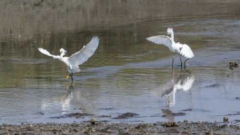 The Snowy Egret Attitude