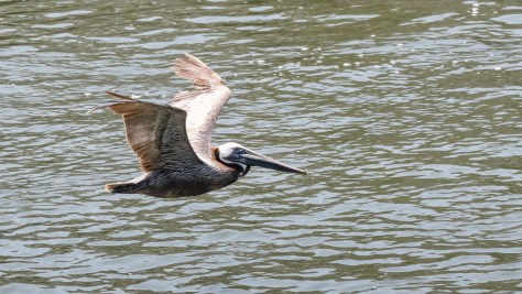 Low And Fast, Pelican
