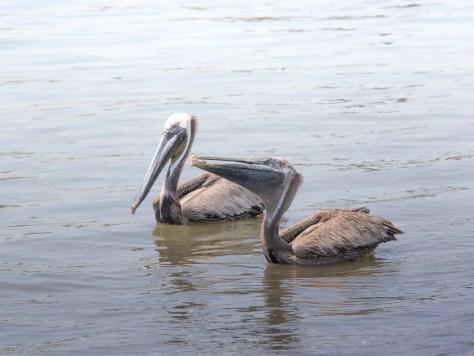 Stole The Bait, Pelican