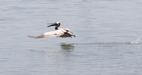 Another Bait Stealer, Pelican