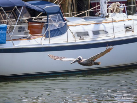 A Lazy Fly By, pelican