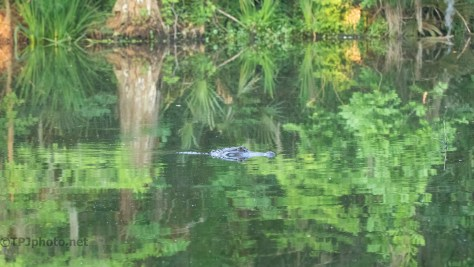 Lost In Reflections, Alligator