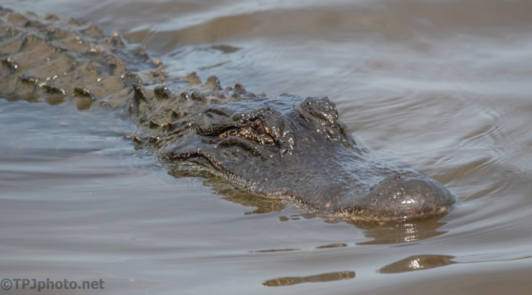 He Stopped By, Alligator