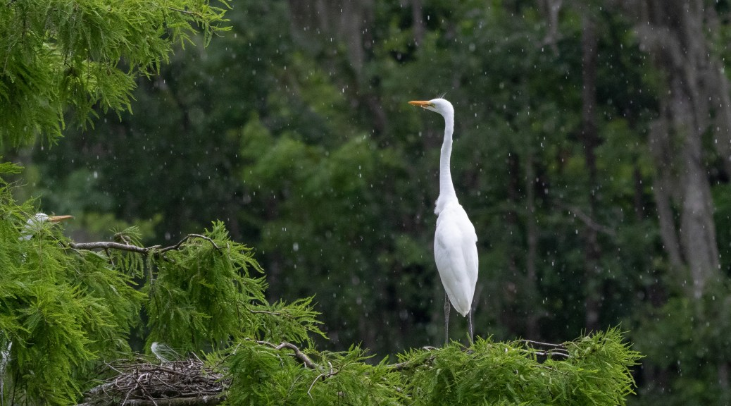 In The Rain, Young Egret