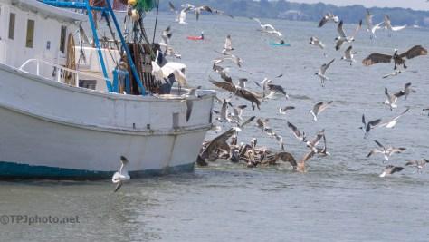 Crowd Of Pelicans