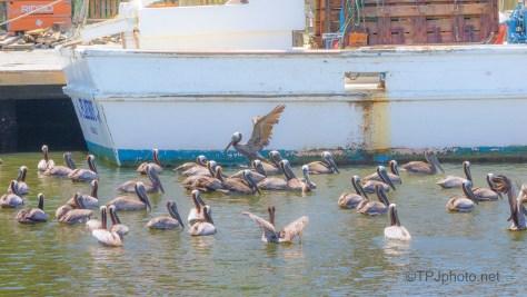 Found A Few Pelicans