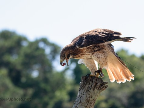 Red-tailed Hawk, An Old Friend