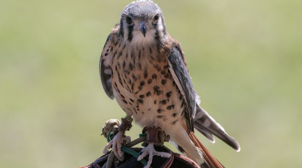 Small But Mighty, American Kestrel
