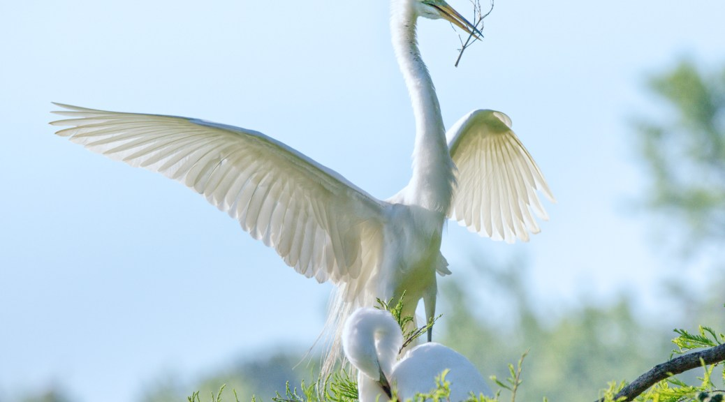 Great Egret, Rookery