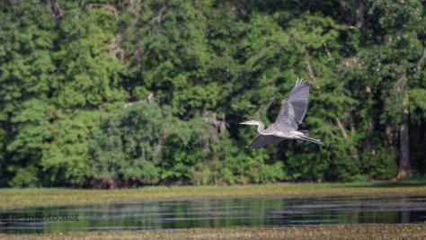 Over A Swamp, Heron
