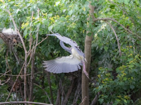 Glimpse On A Tricolored Heron