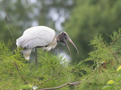 Wood Stork Interested in This Rookery