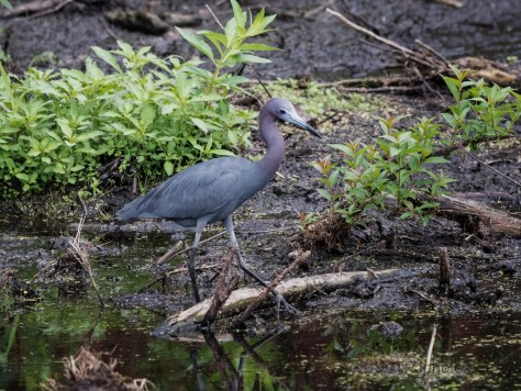 Can't Always Have A Nice Background, Little Blue Heron