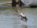 Late To The Party, Pelican