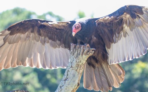 Up Close And Personal, Turkey Vulture