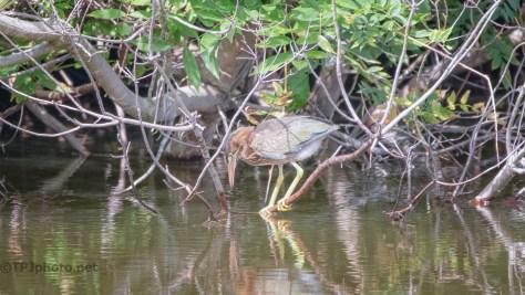 Exploring, Young Green Herons