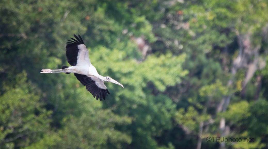 Marsh Fly By, Wood Stork