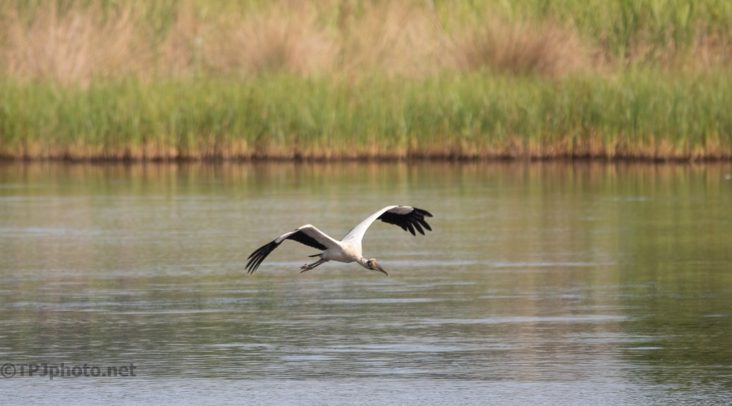 Storks Over A Marsh