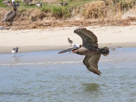Pelican Turns Toward Shore