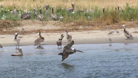 Inbound Brown Pelican
