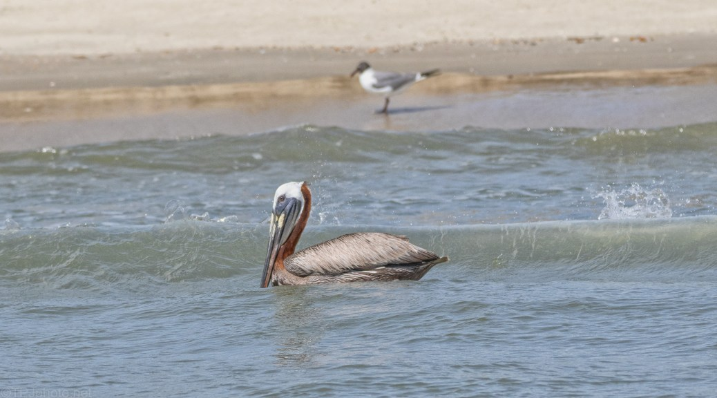 Riding The Surf, Pelican