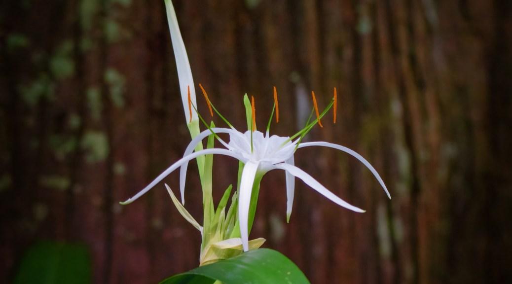 My Version, Cahaba Lily