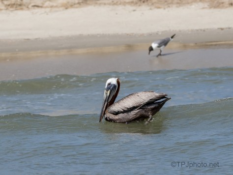 Floating By Shore, Brown Pelican