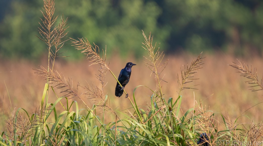 Grackle In The Tall Grass