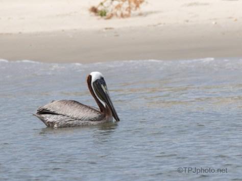Along The Shore, Brown Pelican