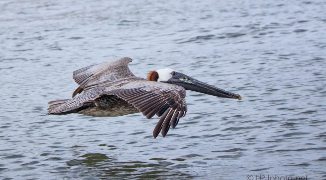 Perfect Spot, Brown Pelican