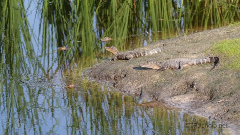 Local Bad Boys hanging On The Corner, Alligator
