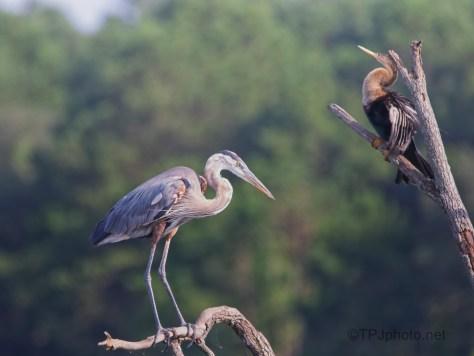 Lightly Landing, Great Blue Heron