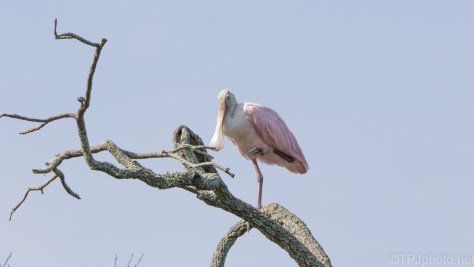 Roseate Spoonbill, I Hear They Are Around The North