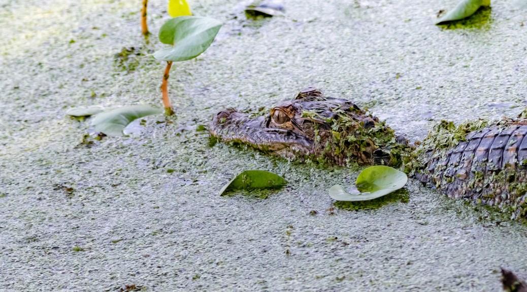 Little Bugger Squealed At Me, Alligator