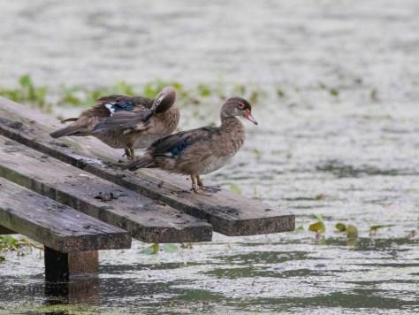Almost Grown, Wood Ducks