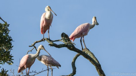 I Might Have Been Spotted, Spoonbills