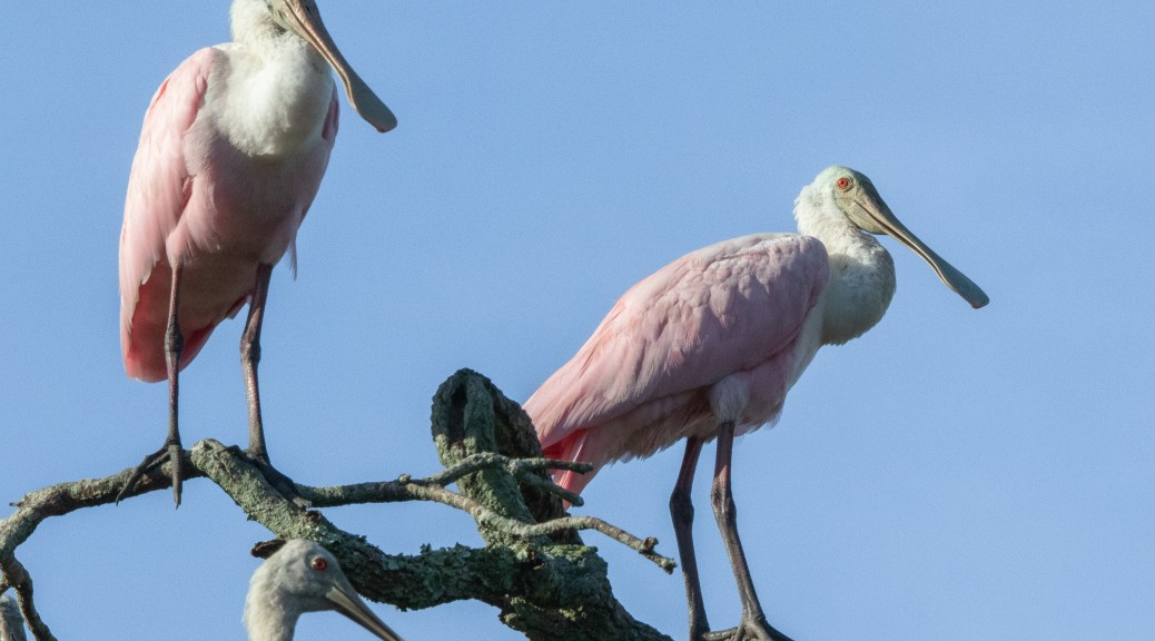 Hoping I Wouldn't Notice, Roseate Spoonbill
