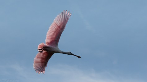 Spoonbill Low Fly By