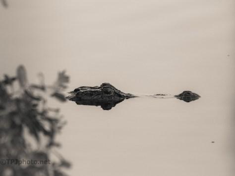 Monochrome Locals, Alligator