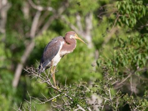 Tricolored Heron, Juvenile