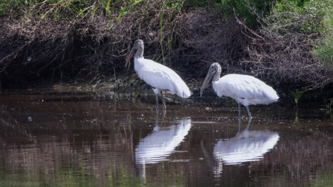 Storks Wandering By
