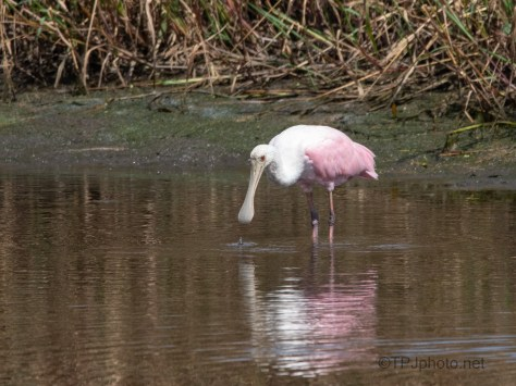 Watching, But Still Fishing, Spoonbill