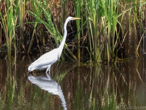Walking By, Great Egret