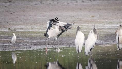 Smooth Landing, Wood Stork