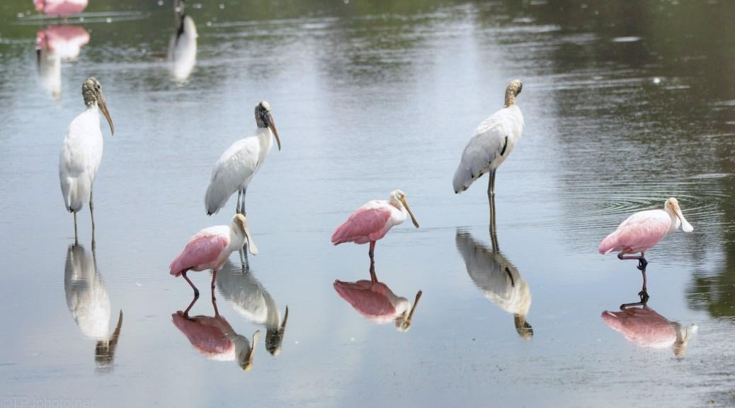Storks, Spoonbills, Amazing Reflections