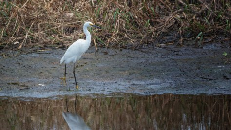 Golden Slippers In The Mud, Snowy Egret