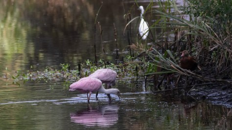 Searching For Treats, Spoonbill Style