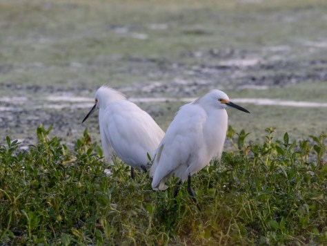 Opening Through The Reeds, Egrets